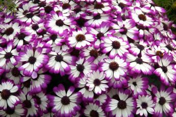 Картинка цветы цинерария много пестрый