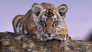 Картинка тигрёнок животные тигры камень мордочка лапы