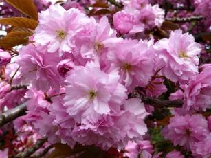Картинка цветы сакура вишня ветки цветение розовый