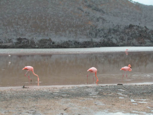 обоя птички, животные, фламинго