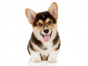 Картинка животные собаки вельш корги пемброк собака щенок