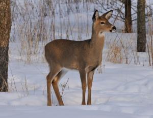 Картинка животные олени зима снег лес