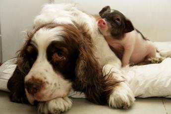 Картинка животные разные вместе поросенок спаниель собака