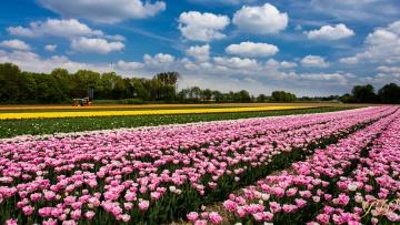 Картинка цветы тюльпаны облака небо розовые поле