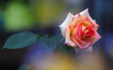 Картинка цветы розы бутон роза листочки