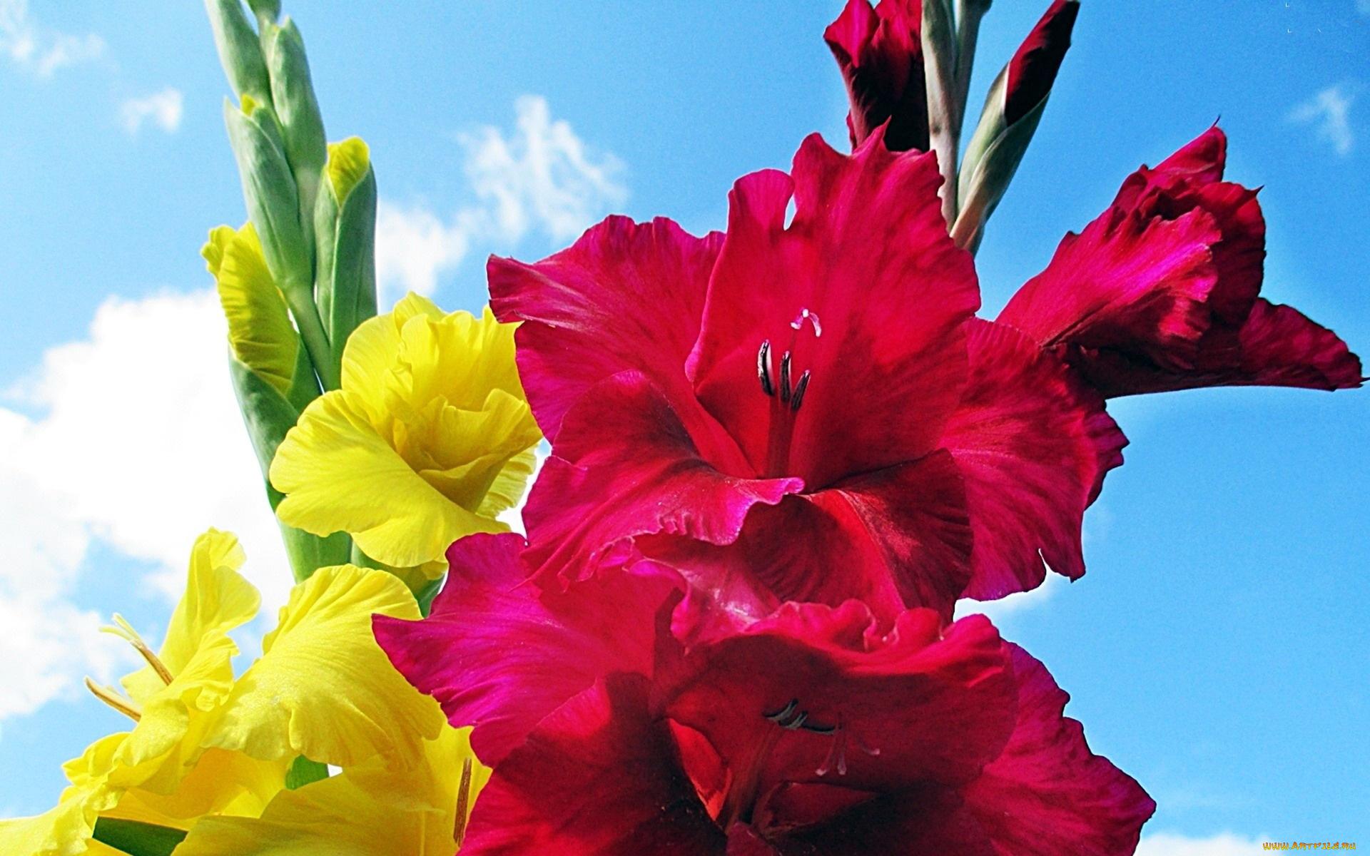 Голосовую, цветы гладиолусы картинки на рабочий стол