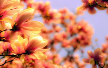 обоя цветы, магнолии, цветение, весна, ветки
