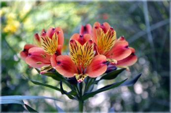 обоя цветы, альстромерия, боке