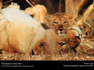 Картинка животные львы