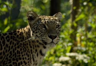 Картинка животные леопарды морда леопард