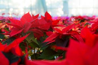 обоя цветы, пуансеттия, пуансетия, красная, цветение
