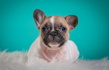 Картинка животные собаки французский бульдог щенок мордочка портрет милый