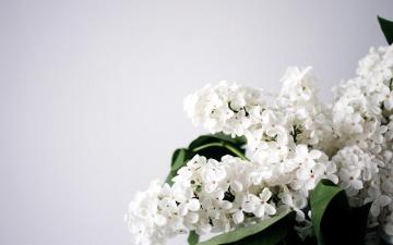 обоя цветы, сирень, белый, гроздь, весна