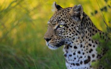 Картинка животные леопарды портрет морда дикая кошка леопард боке