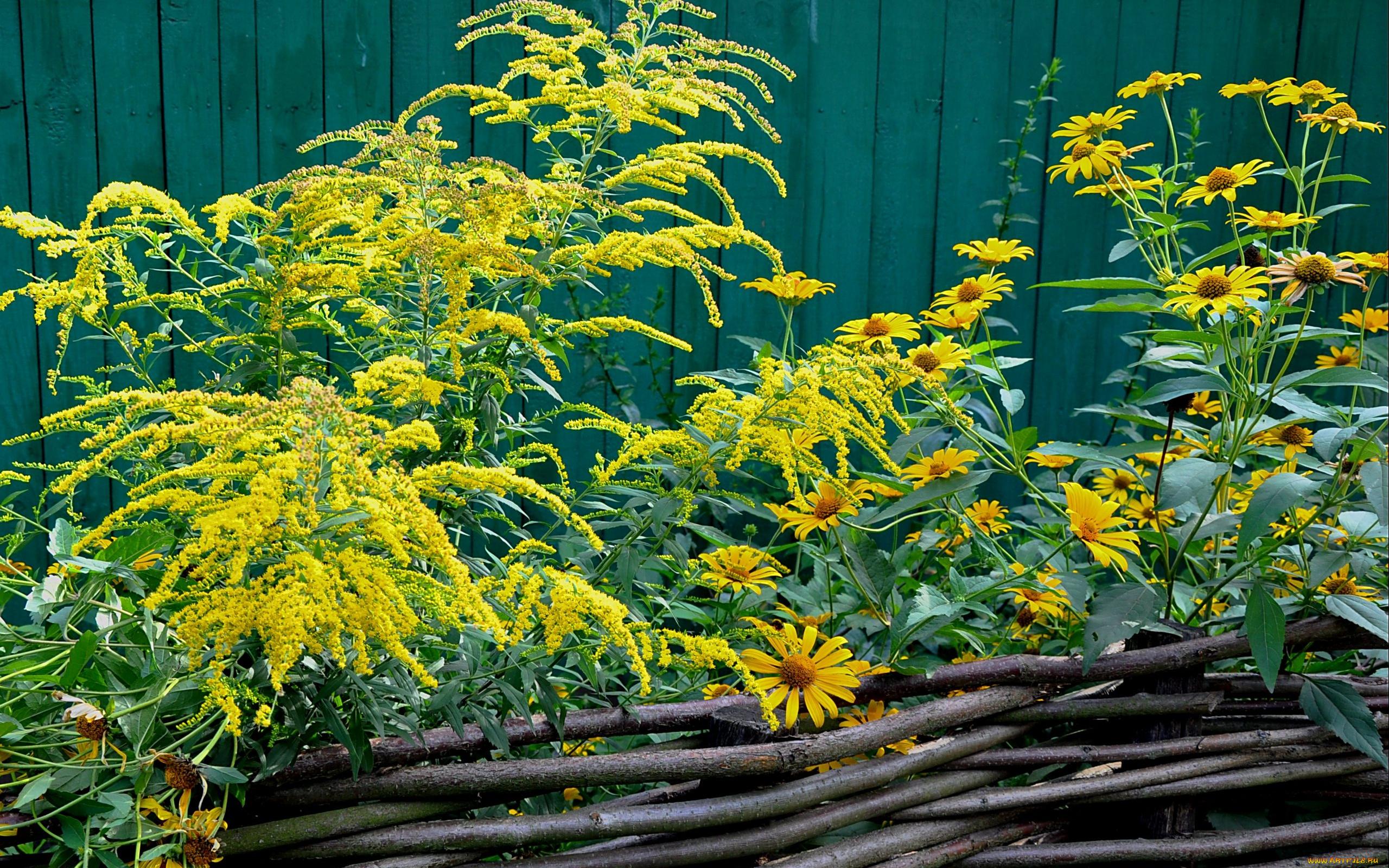 Топинамбур цветы живая изгородь