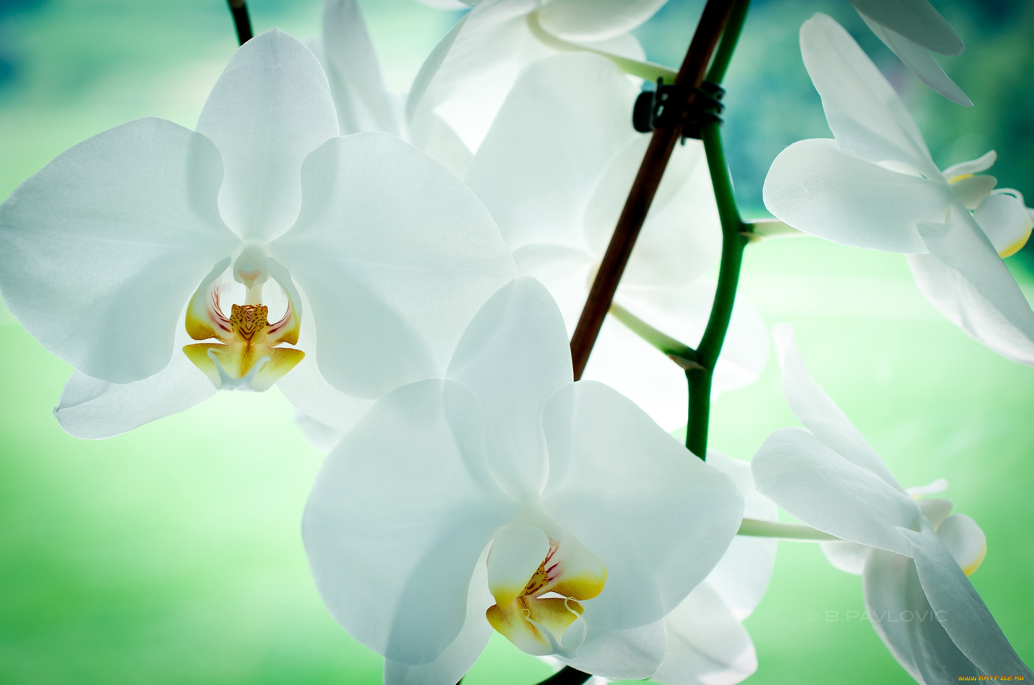 природа цветы белые орхидея nature flowers white Orchid скачать