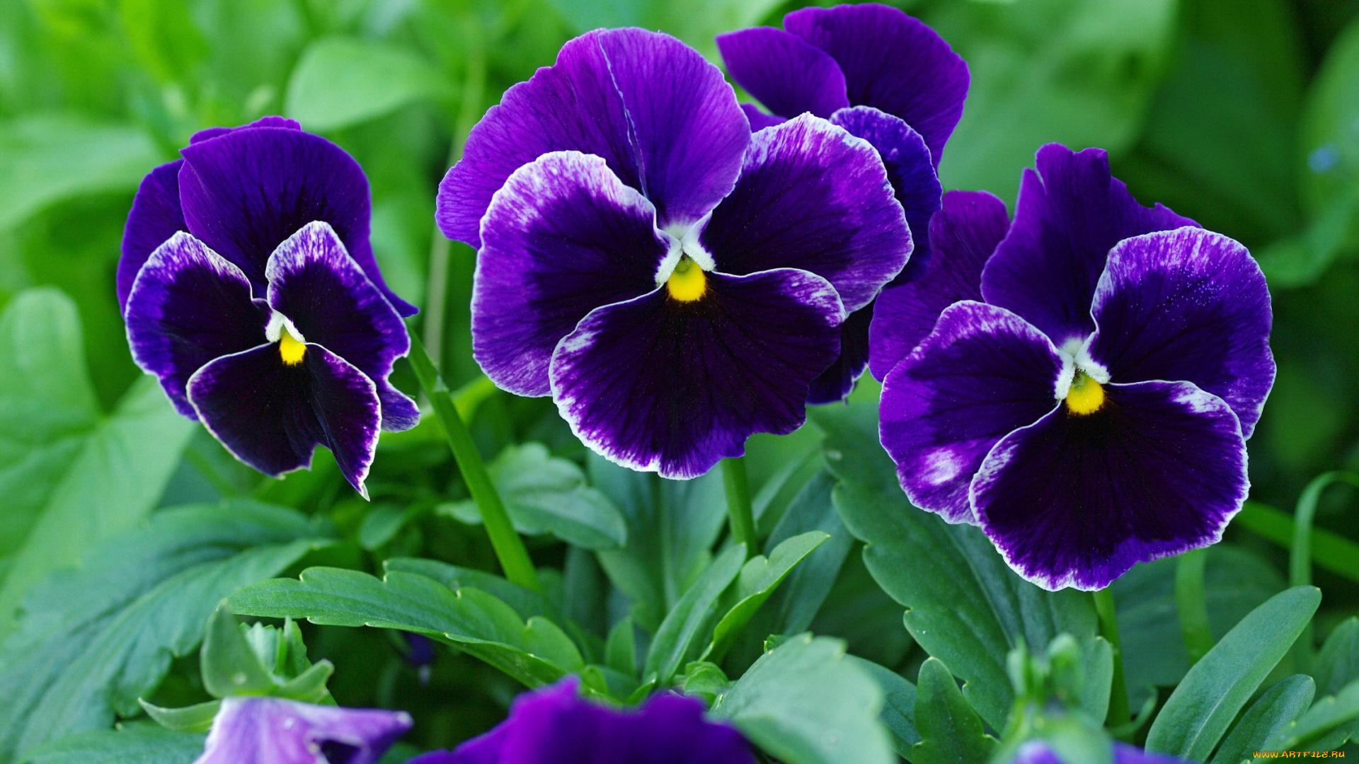 Скачать обои цветы, анютины, глазки, , садовые, фиалки ...