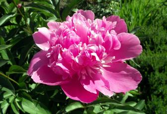 обоя цветы, пионы, розовый, макро