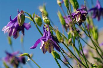 обоя цветы, аквилегия , водосбор, аквилегия, водосборник, красота, лето, небо, природа, растения, фиолетовый, цвет, флора