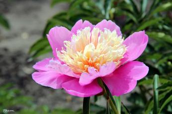 обоя цветы, пионы, макро