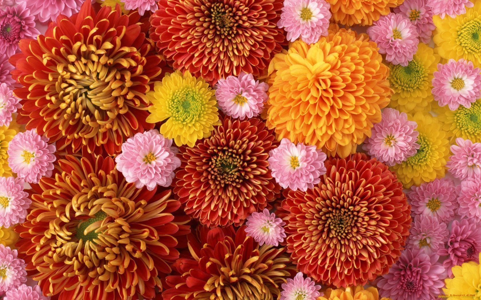 Хризантемы на открытке