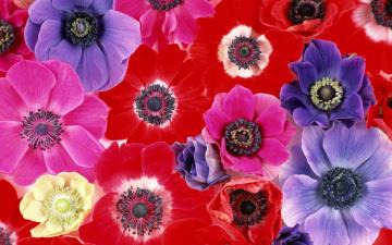 Картинка цветы анемоны адонисы