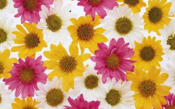 Картинка цветы хризантемы