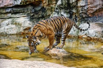 Картинка животные тигры тигр водоем купание пробует воду