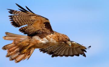 Картинка животные птицы хищники орел полет крылья размах