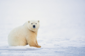 обоя животные, медведи, белый, мишка, зима, природа, снег