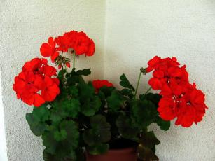 обоя цветы, герань, алый