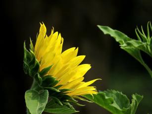 обоя цветы, подсолнухи, фон, подсолнух