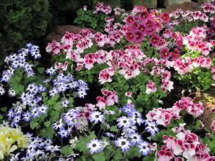 обоя цветы, разные вместе, сальпиглоссис, герань