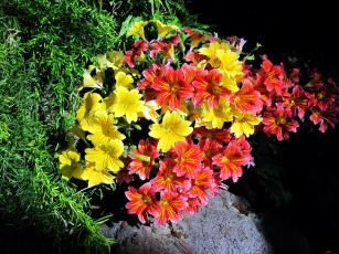 обоя цветы, сальпиглоссис, пестрый, желтый
