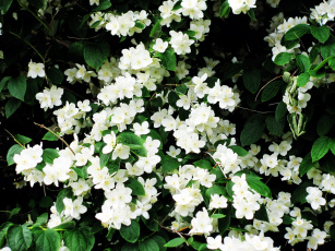 обоя цветы, жасмин, белый