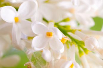 обоя цветы, сирень, паутина, соцветие, макро, белая, ветка