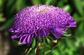 обоя цветы, астры, капли, макро, лиловый