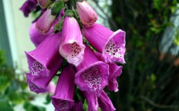 Картинка цветы дигиталис+ наперстянка