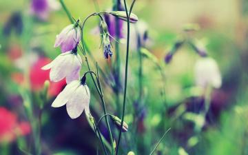 обоя цветы, колокольчики, луг