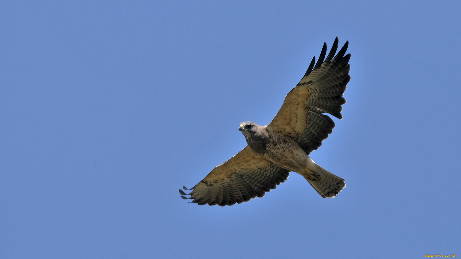 ястреб hawk  № 20896 бесплатно