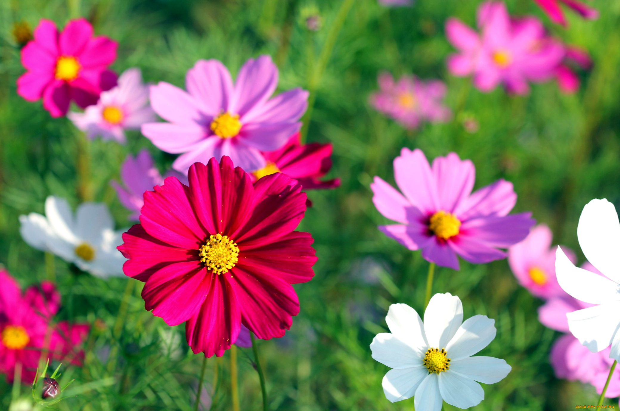 Нежные, космея картинки цветов