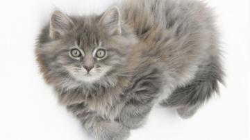 Картинка животные коты серый