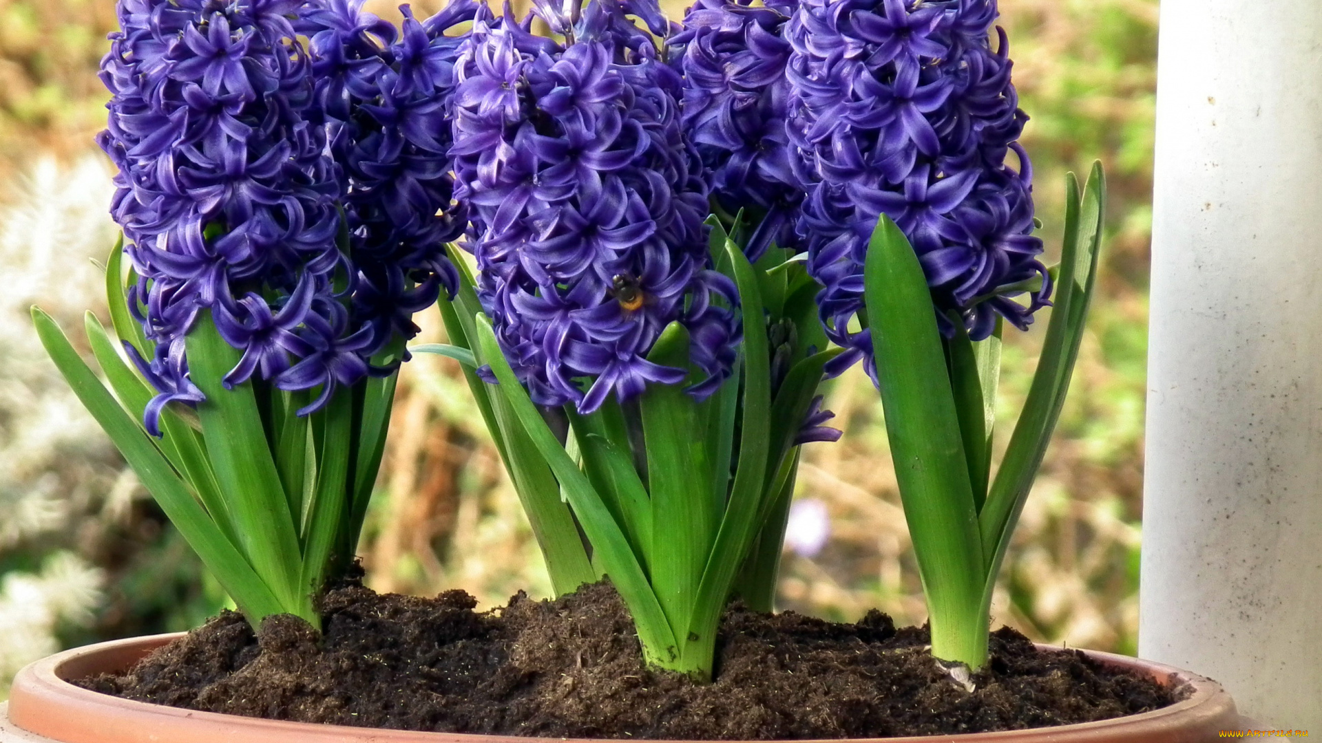 Цветущие цветы из луковиц фото