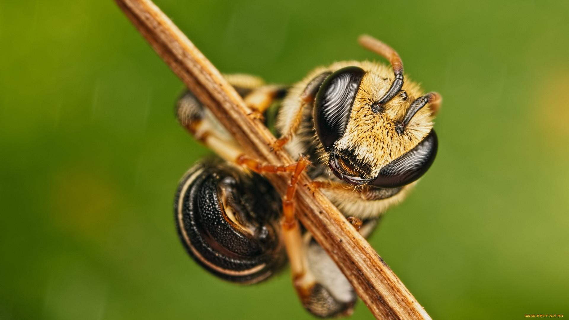 природа насекомое макро голова пчела глаза без регистрации