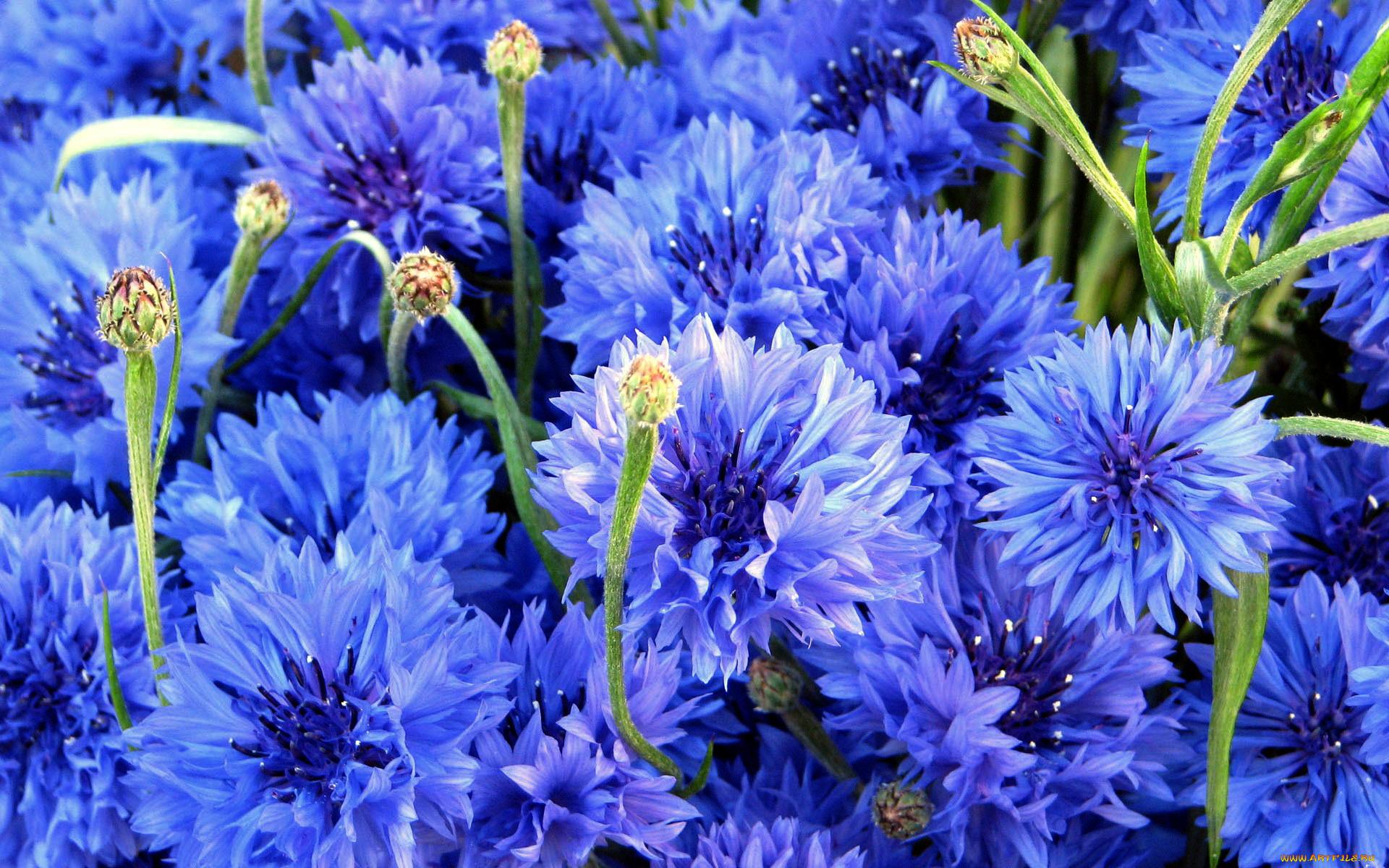 Поздравления сестру, картинки цветы голубые