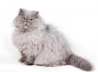 Картинка животные коты взгляд коте киса белый фон