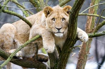 Картинка животные львы взгляд львица лев дерево