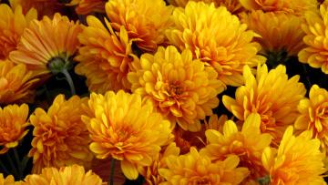 обои для рабочего стола осенние цветы хризантемы № 1155227 бесплатно