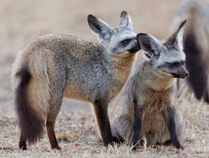 обоя животные, лисы, пара, лиса, лисица, большеухая