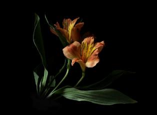 обоя цветы, альстромерия, цветок, флора